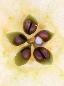 Estrella en la manzana2 224x300 El fruto prohibido nos muestra su estrella.