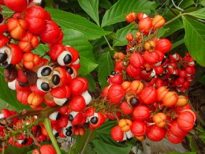 guarana 300x225 Al Rojo Vivo II