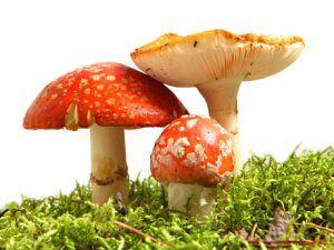 recolectar-hongos-comestibles-0 - Copy