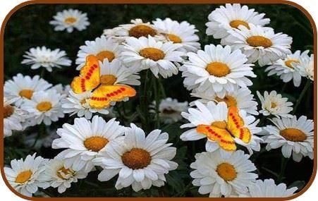 mariposas posadas en girasoles blancos