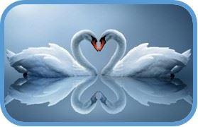Amor de cisnes